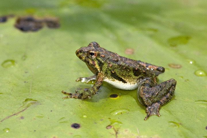 Cricketfrog0002